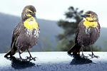 Photograph of yellow headed blackbirds on roof of pick up truck Grand Teton National Park (WY).  Copyright Chris Bell.